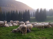 Sheep of the neighbours