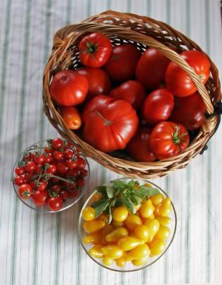 Tomato harvest